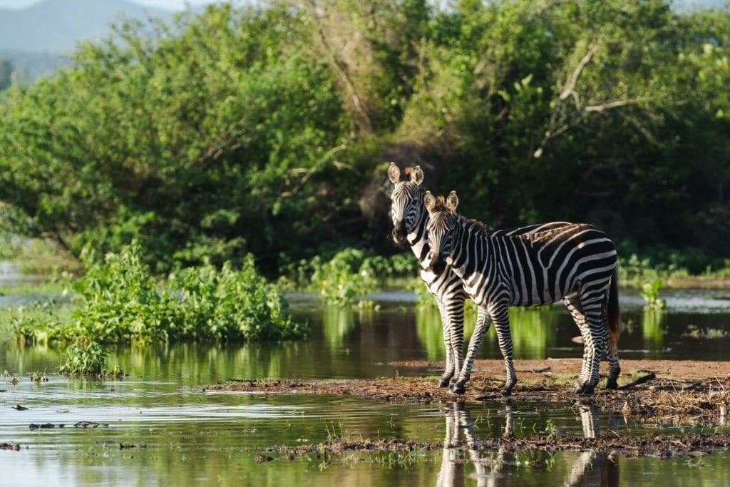 Zebras at Cuixmala